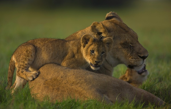 Picture family, the cubs, lioness, pride