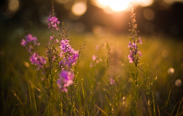 Picture summer, the sun, rays, light, sunset, flowers, nature, glare, background, Wallpaper, glade, plants, the evening, …