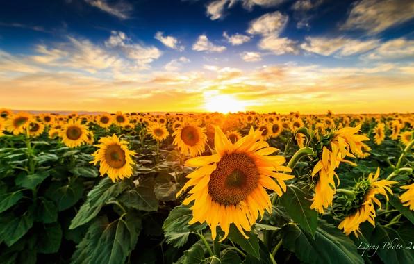 Wallpaper Field Sunflowers Landscape Sunset Nature