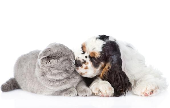 Wallpaper cat kiss fluffy friends spaniel dogs cute - Free cocker spaniel screensavers ...