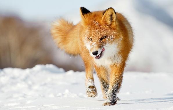 Picture winter, language, snow, Fox, red, Fox