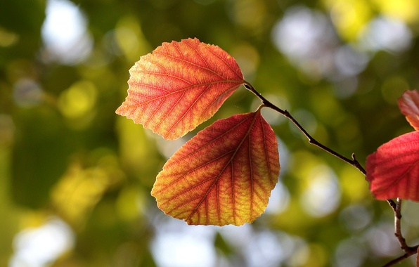 Picture autumn, leaves, macro, nature, tree, branch, leaves, veins, bokeh