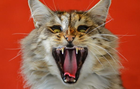 Picture cat, cat, face, mouth, beast