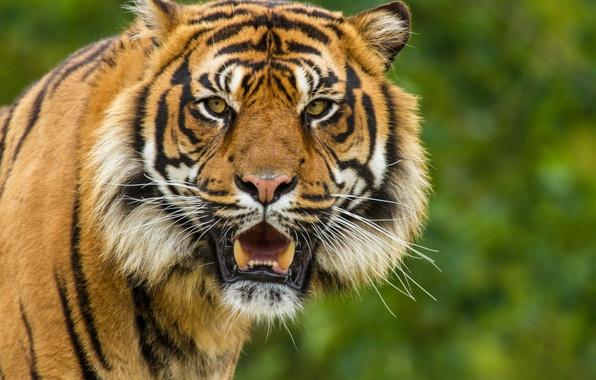 Picture cat, look, face, tiger, Sumatran