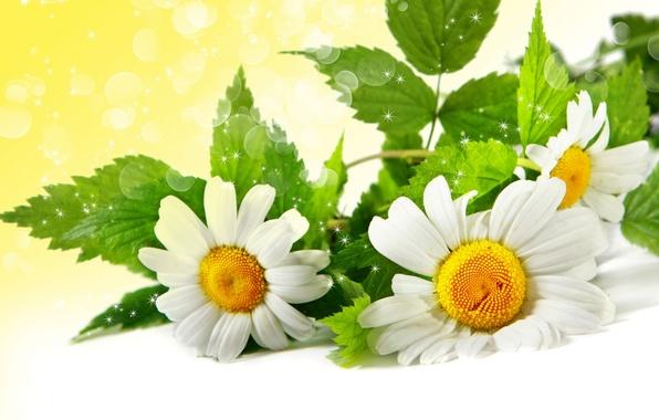 Picture leaves, glare, chamomile, green
