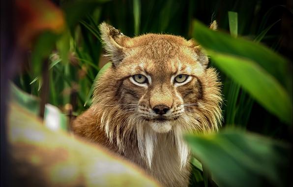 Picture look, foliage, predator, blur, Lynx