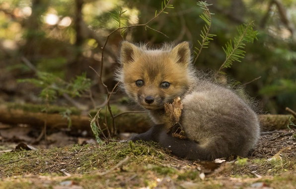 Photo wallpaper cub, Fox, Fox, look, baby