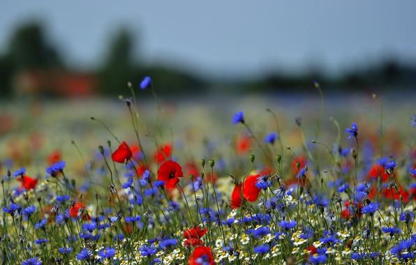 Picture Maki, chamomile, meadow, bokeh, cornflowers