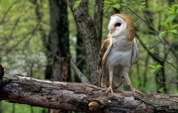 Picture forest, owl, log, Common barn owl