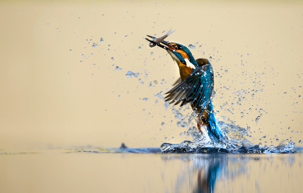 Picture water, squirt, bird, Kingfisher, catch