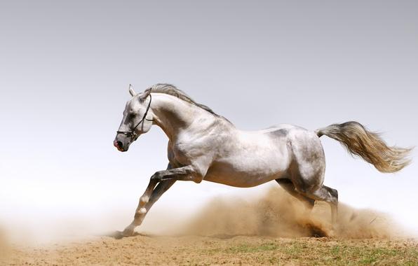 Picture sand, animals, horses, dust, horse, dust, horses