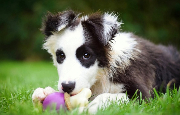 Picture toy, dog, puppy, The border collie