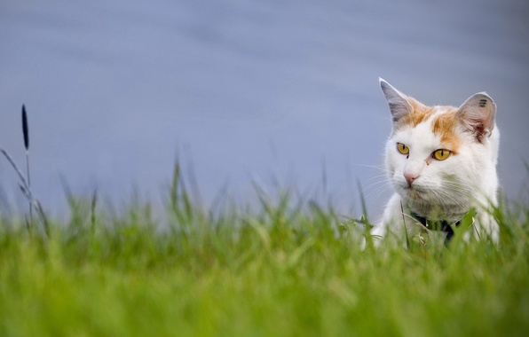 Picture greens, grass, look, Cat