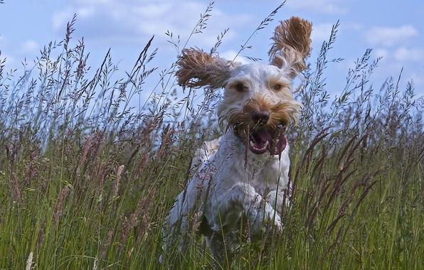 Picture language, grass, joy, mood, dog, meadow, walk, ears, dog