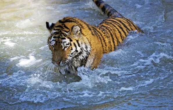 Picture cat, water, tiger, wet, the game, bathing, Amur