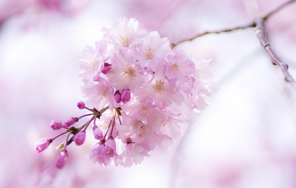 Picture macro, flowers, pink, branch, spring, Sakura, flowering