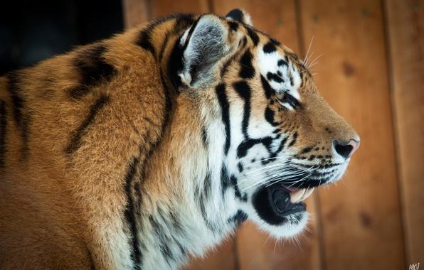 Picture cat, face, tiger, profile, Amur