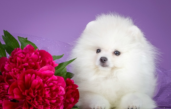 Picture white, puppy, peonies, Spitz