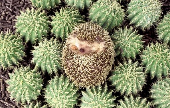 Picture cactus, barb