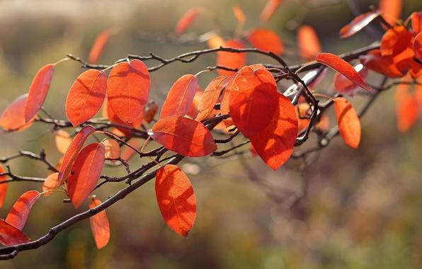 Picture autumn, macro, light, foliage, orange, branch