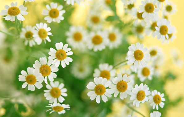 Picture greens, macro, flowers, chamomile, bouquet, plants, white
