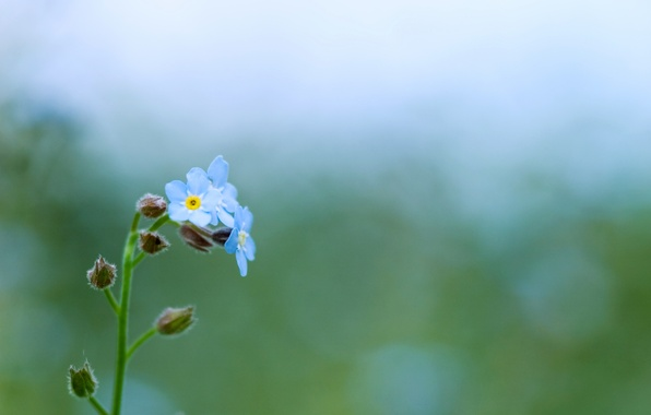 Picture greens, macro, flowers, nature, green, glare, tenderness, plant, color, spring, blue, forget-me-nots