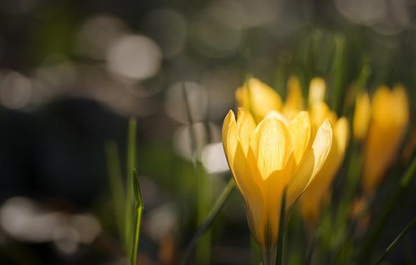 Picture glare, background, yellow, crocuses, Krokus