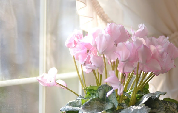 Picture flowers, house, window, pink, cyclamen