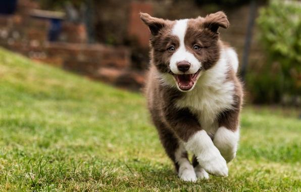 Picture dog, puppy, walk, The border collie