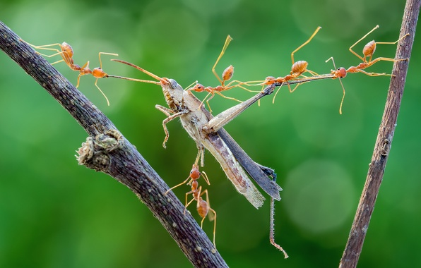 Picture macro, insects, ants, attack, grasshopper, hunting, mining