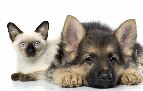 Picture cat, friendship, puppy, kitty, Siamese, shepherd