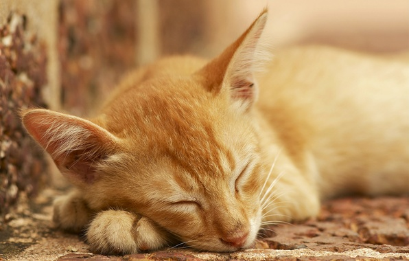 Picture cat, stay, sleep, red