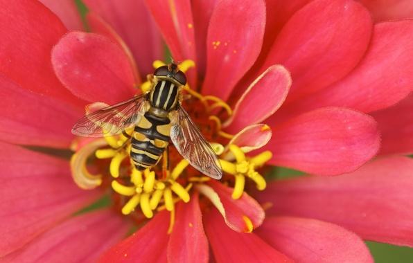 Picture macro, bee, petals, stamens, pollination, Cvetok