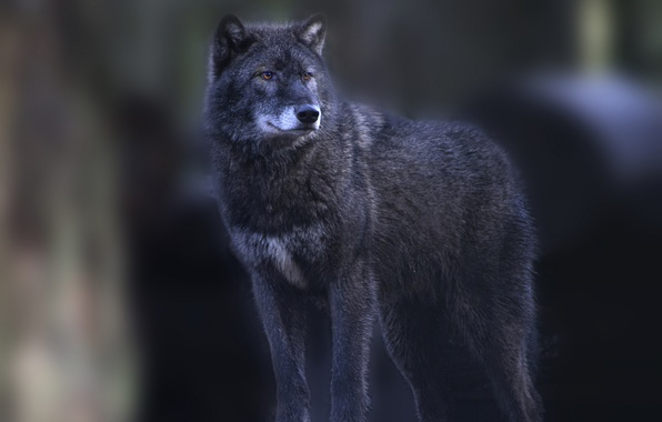Picture grey, wolf, is, looks