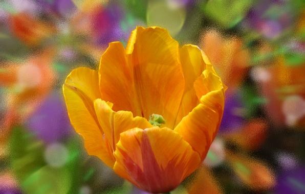 Picture flower, glass, macro, orange, paint, color, Tulip, petals