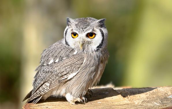 Picture look, bird, Owl, bird, look, owl