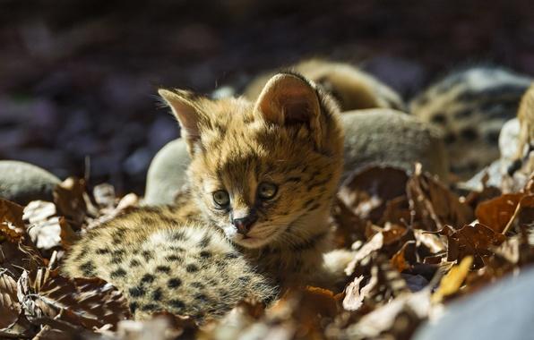 Picture cat, leaves, baby, cub, kitty, Serval, ©Tambako The Jaguar