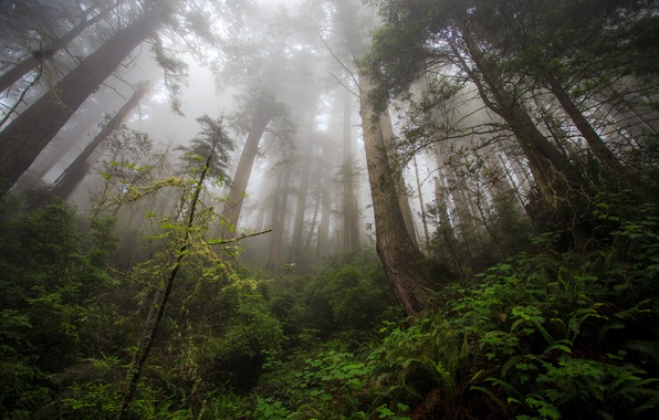 Picture forest, trees, tree, Damnation Creek Trail, Redwood heaven, Northern California