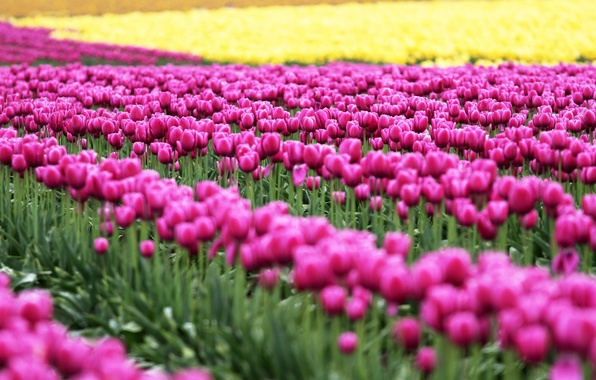 Picture greens, field, leaves, flowers, nature, background, pink, widescreen, Wallpaper, tulips, wallpaper, flowers, nature, widescreen, flowers, …