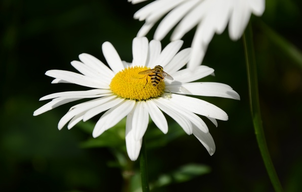 Picture macro, bee, OSA, Flowers, Daisy
