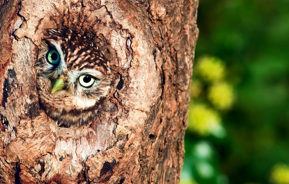 Picture tree, owl, the hollow, birds