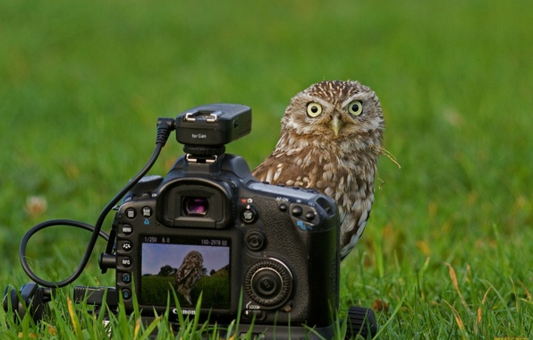 Picture Grass, Owl, The camera, Canon, Look.