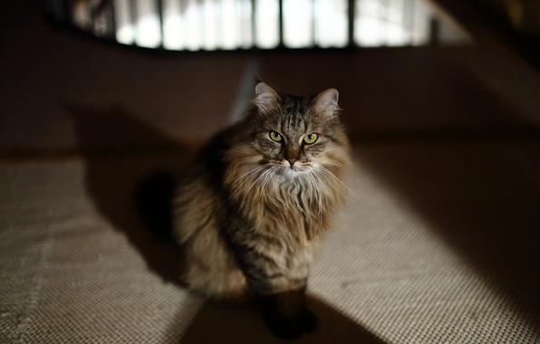 Picture cat, look, legs, wool, muzzle, ears, green eyes