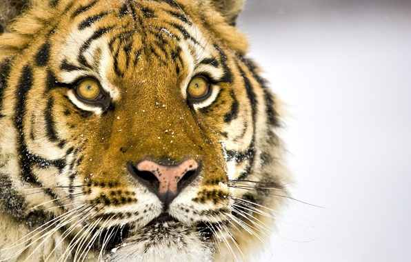 Picture Tiger, Snow, Mustache, Eyes, Face, Nose