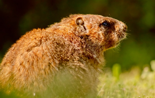Picture marmot, wildlife, rodent
