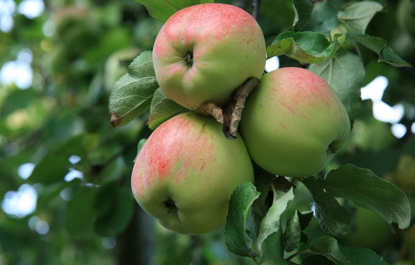Picture nature, apples, Apple, food, morning, garden, village, Apple