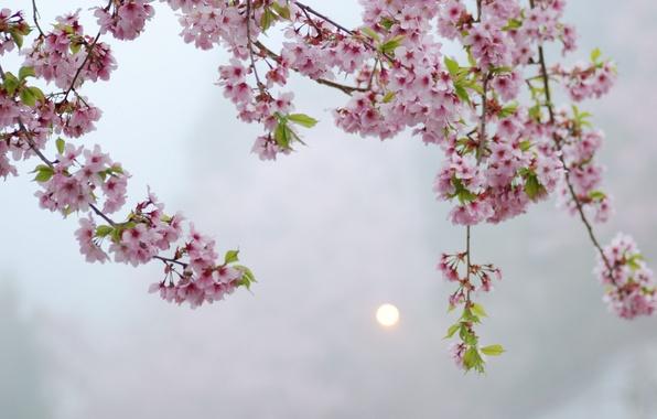 Picture the sun, macro, flowers, tree, the evening, Sakura, pink, Blik, flowering, twigs