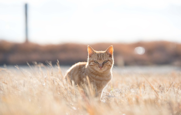 Photo wallpaper grass, field, cat, sunny