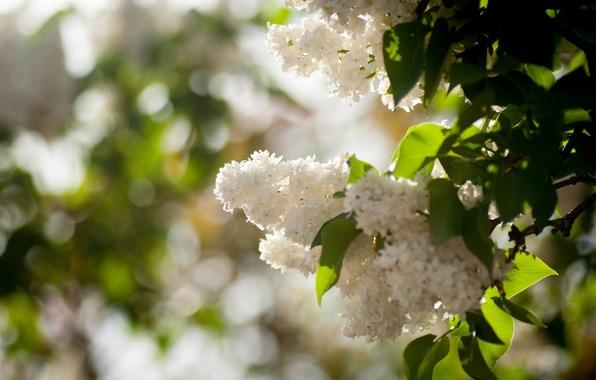 Picture the sun, Bush, spring, white, lilac