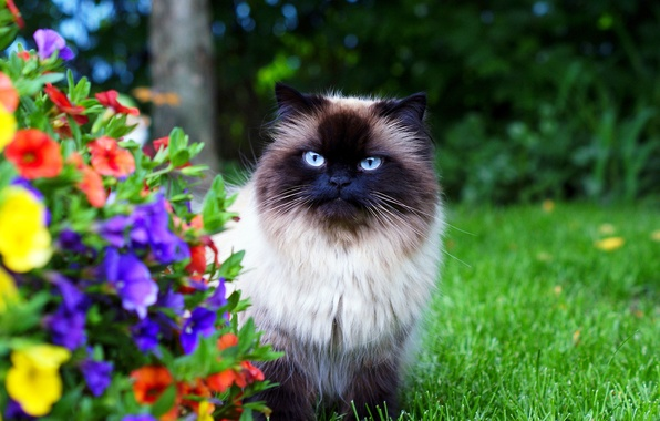Picture cat, grass, flowers, garden, fluffy, Himalayan